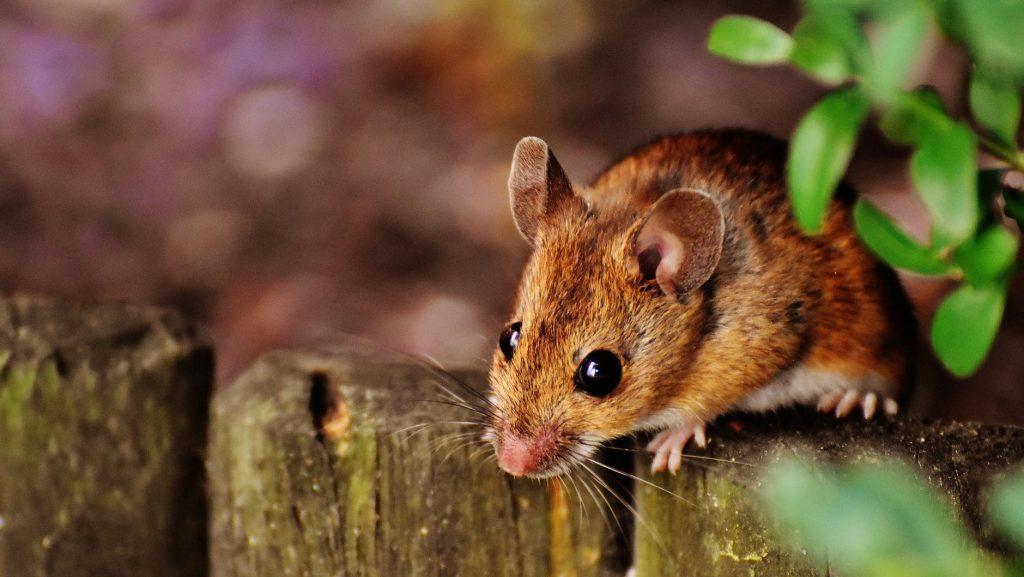 Mr. Perez the Mouse